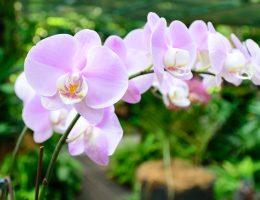 Singapur - Ogród botaniczny - ogród orchidei