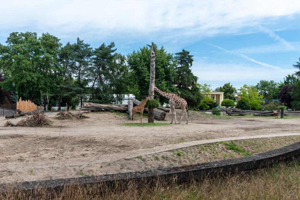 Wrocławskie zoo: żyrafy