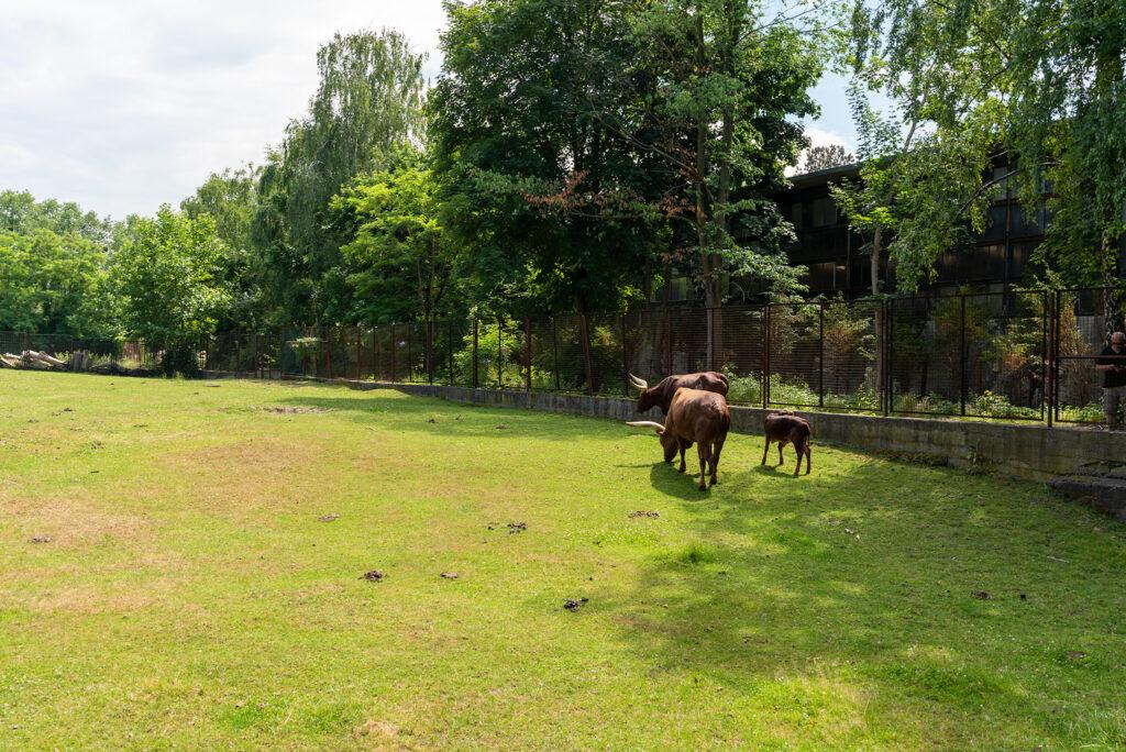Wrocławskie zoo: watusi